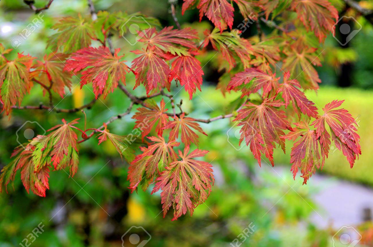 Maple Tree In Fall Colors At Portland Japanese Garden Stock Photo ...