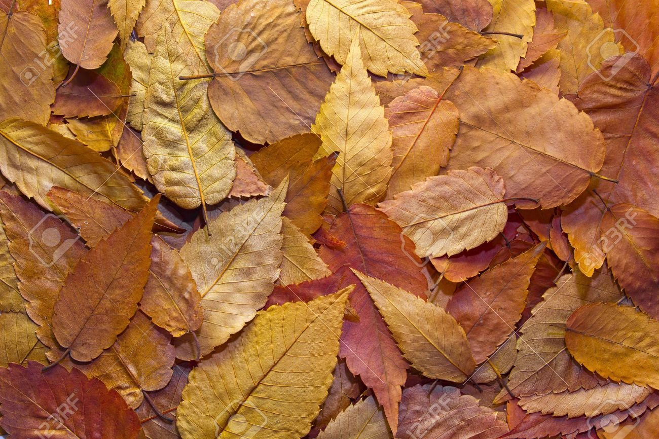 American Beech Tree Autumn Leaves Background In The Fall Stock Photo Picture And Royalty Free Image Image 8098516