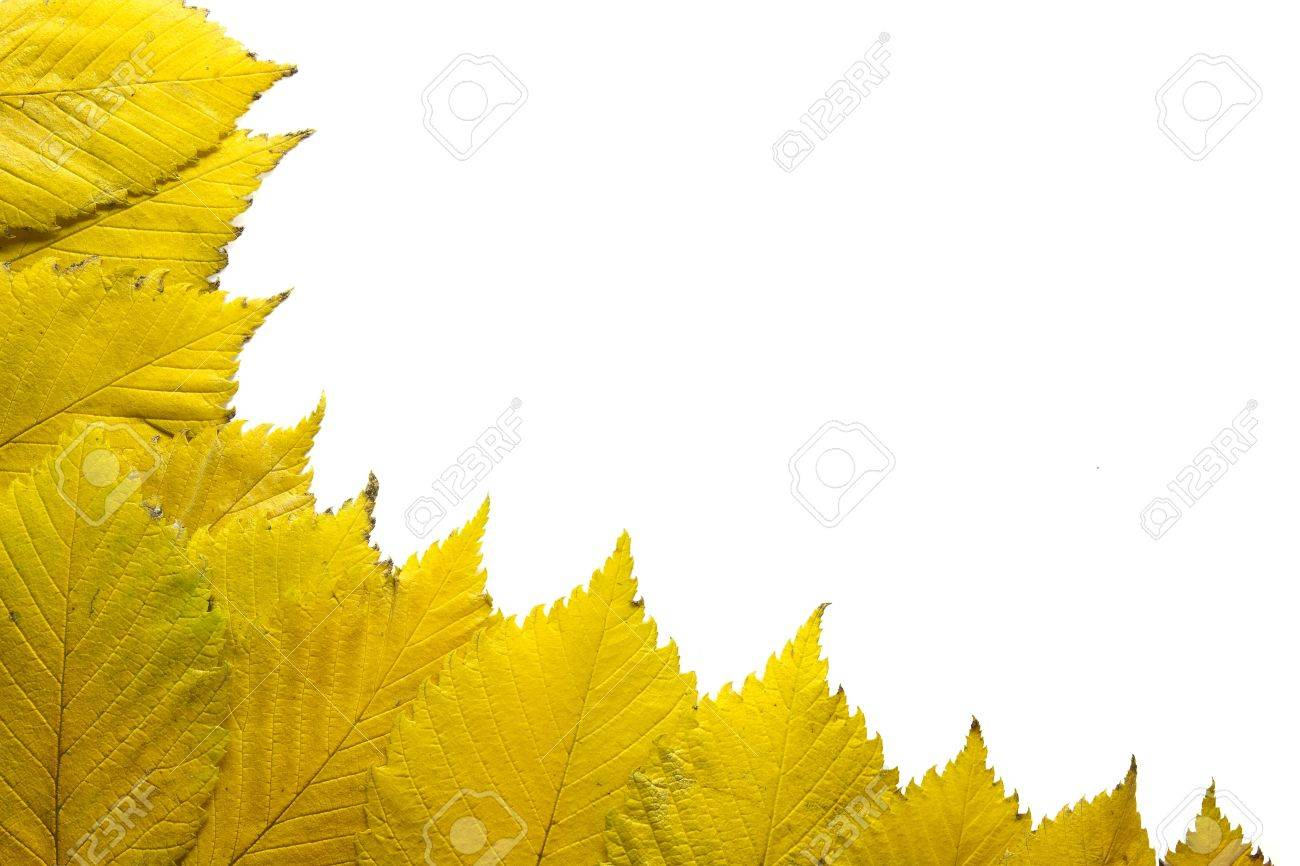 Elm Tree Yellow Autumn Leaves in the Fall Background Border Stock Photo - 8098519