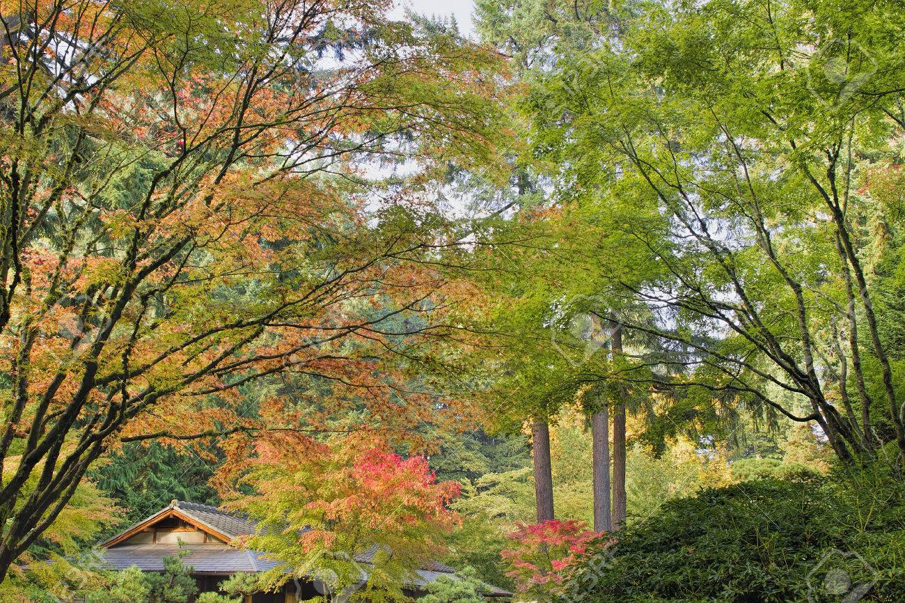 Tall Upright Japanese Maple Tree Foliage Changing Color In Fall ...