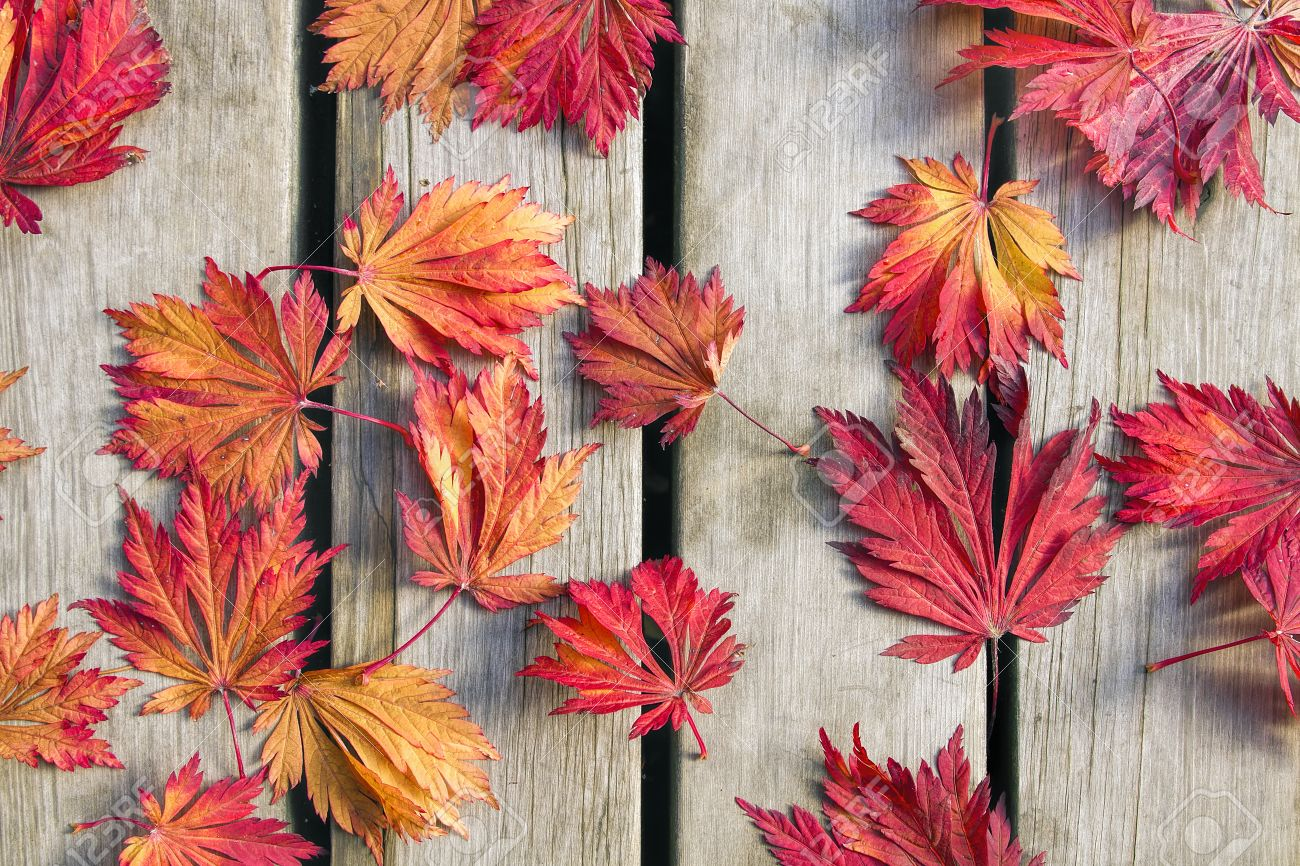 Japanese Maple Tree Leaves on Wood Deck Background in Fall Season Stock Photo - 23133591