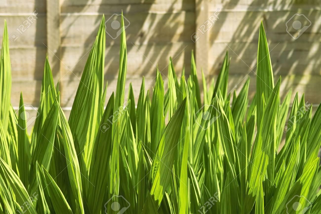 Vert Des Roseaux Dans Le Jardin Derrière La Clôture En Bois Banque D ...