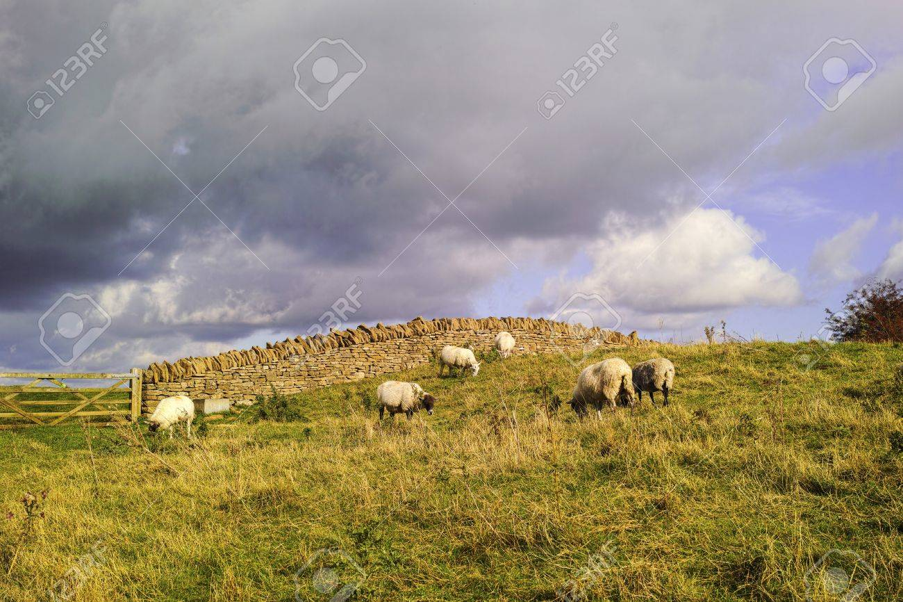 sheep in a field on a farm in the countryside Stock Photo - 17949197
