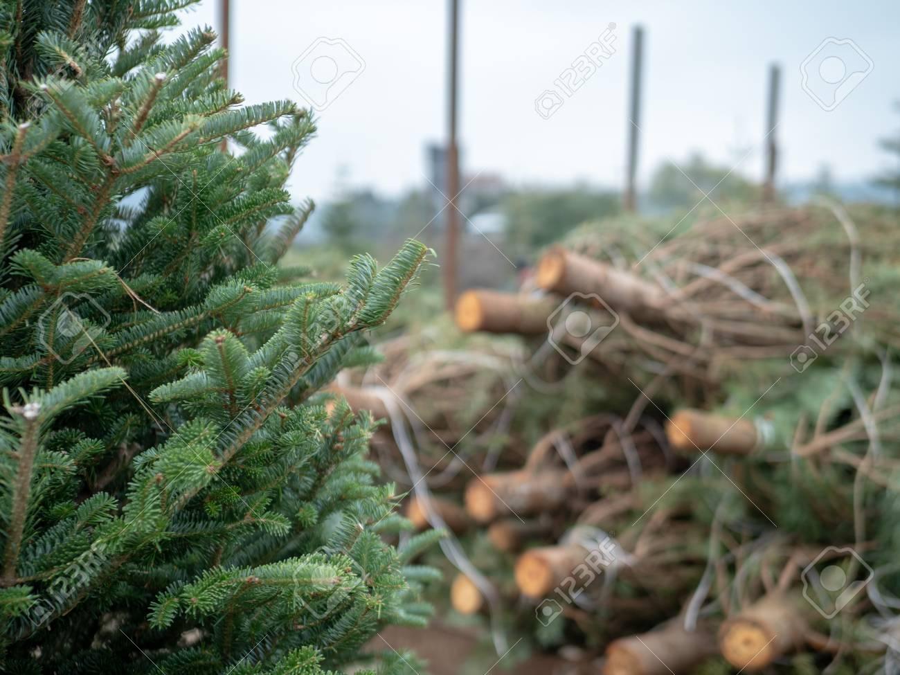 Douglas Fir Christmas Tree.Stack Of Medium Sized Douglas Fir Christmas Trees Cut Down And