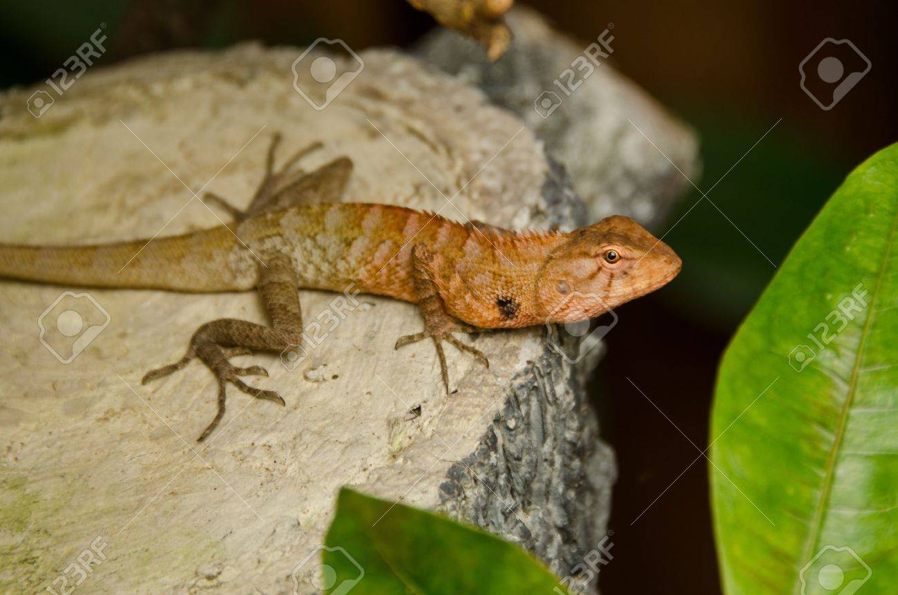 An Oriental Garden Lizard With A Red Head Stock Photo, Picture And ...
