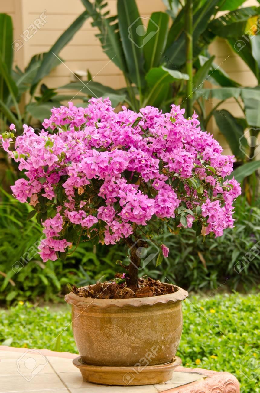 bougainvillier rose dans un jardin thaïlandais banque d'images et