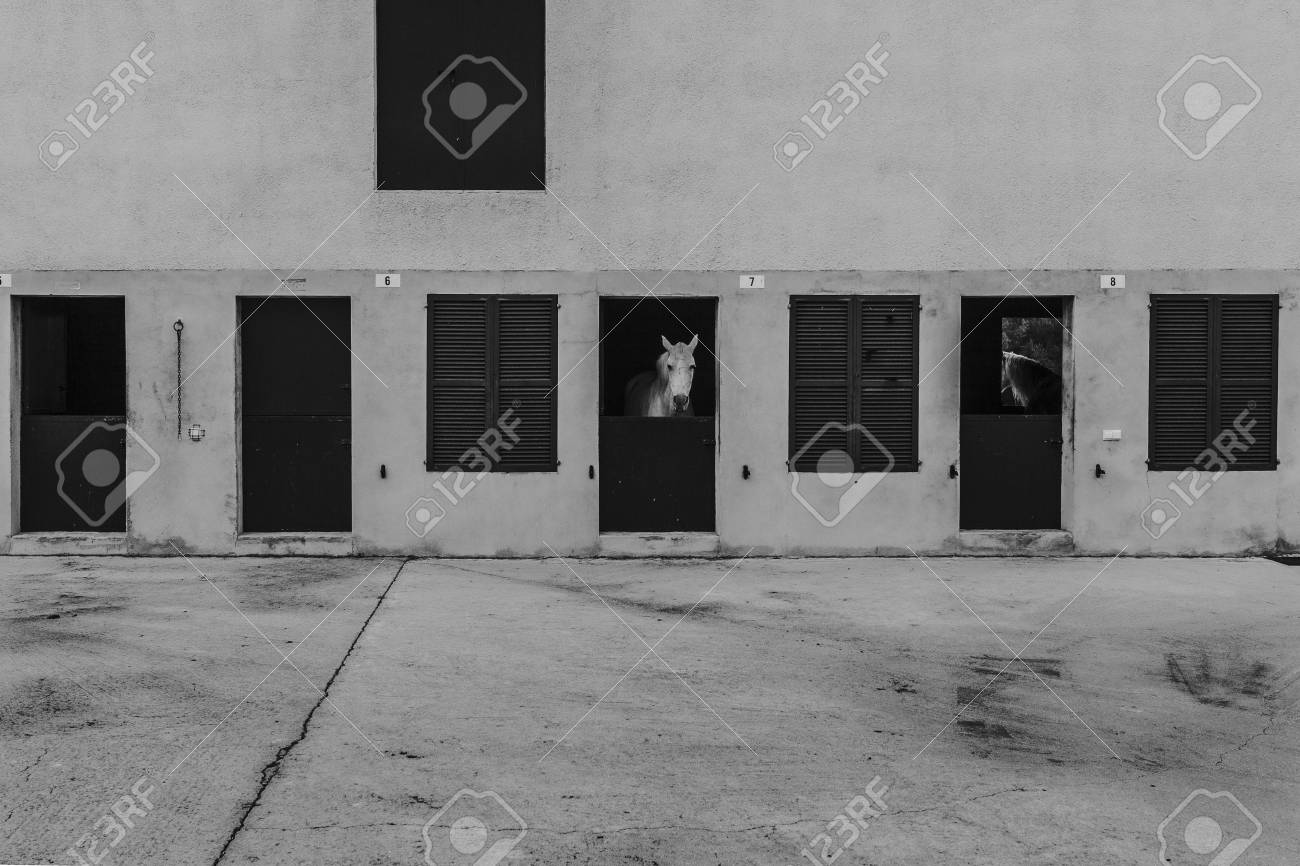 White horse head showing the head through stable door black and white stock photo