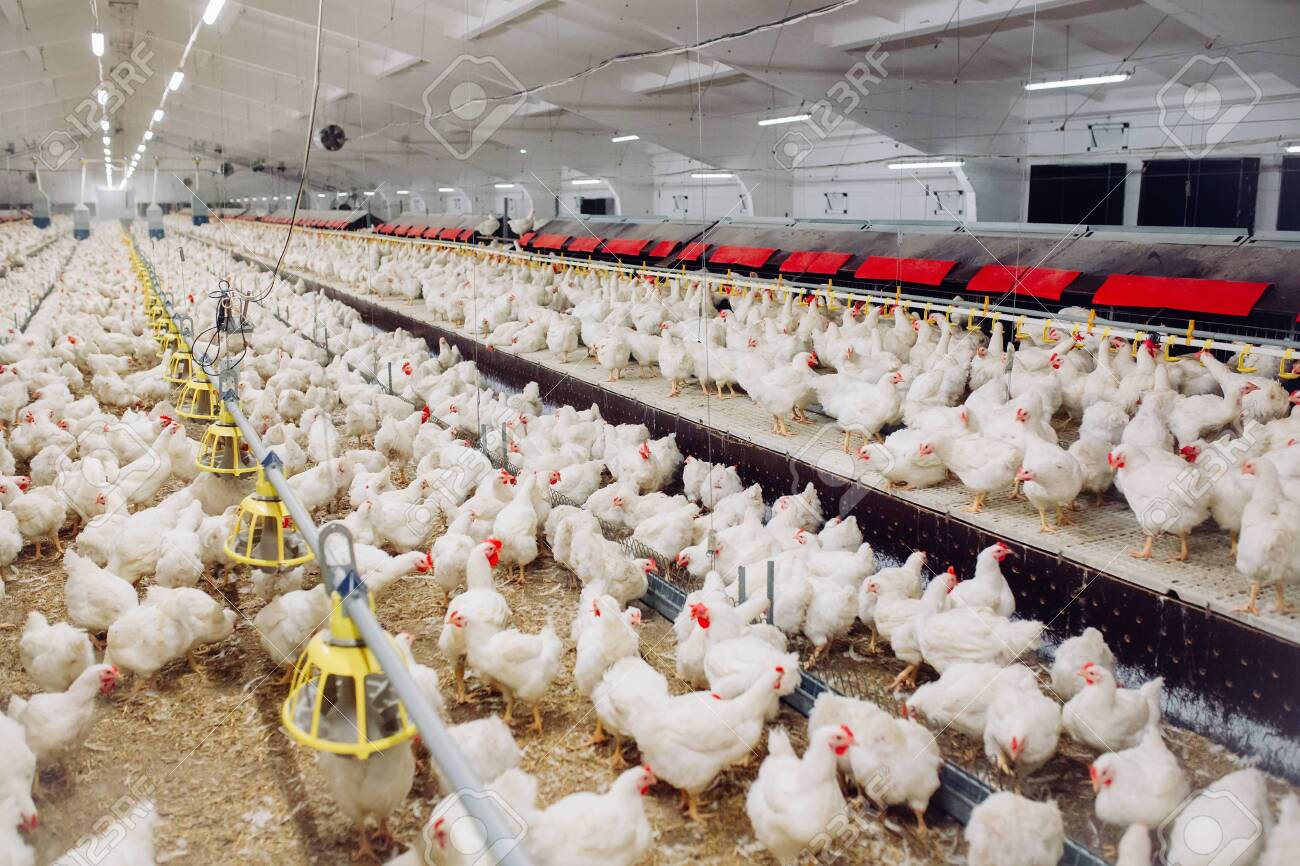 Image result for Poultry Farming