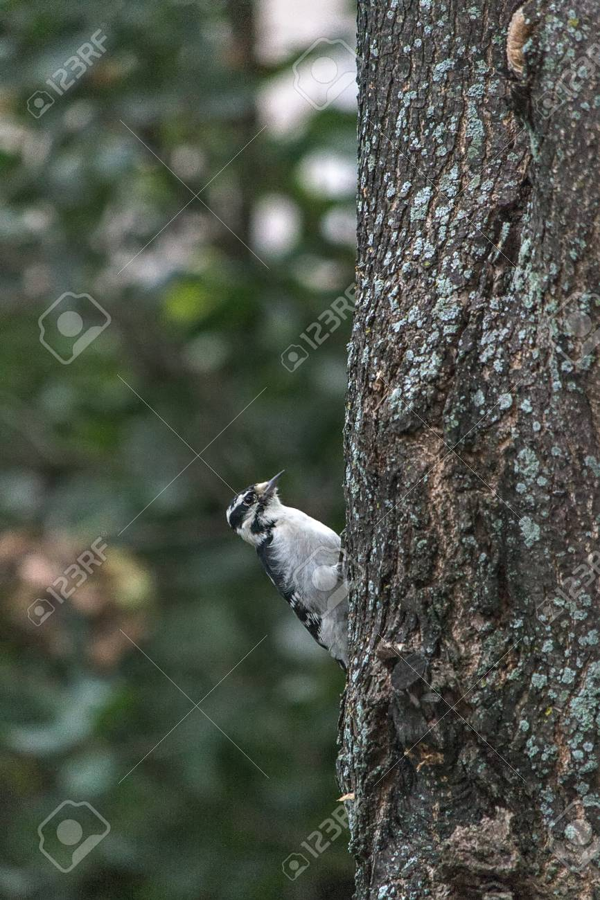 Woodpecker Stock Photo - 22624093