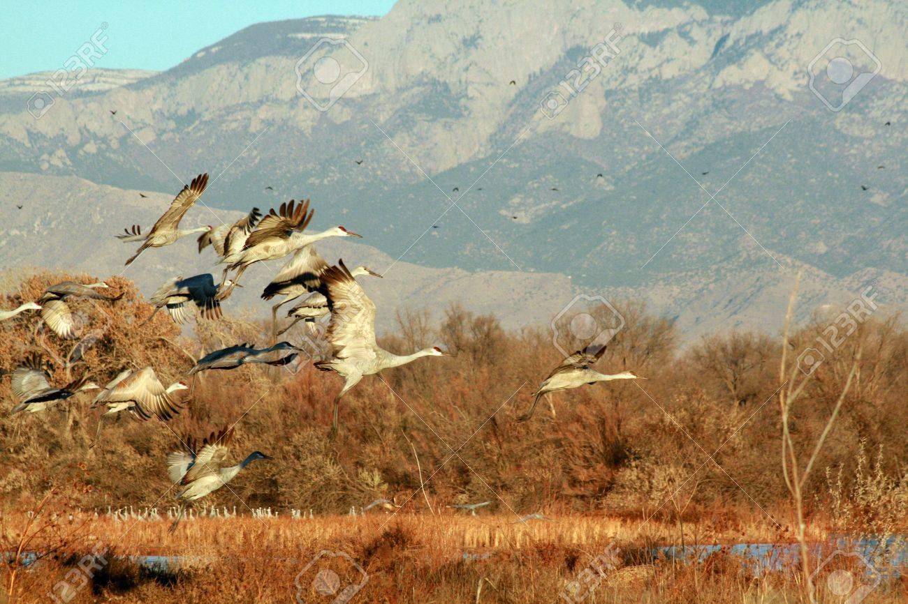 Sandhill Cranes in the Bosque near Albuquerque, New Mexico   The Sandia Mountain rise blue in the background Stock Photo - 19249430