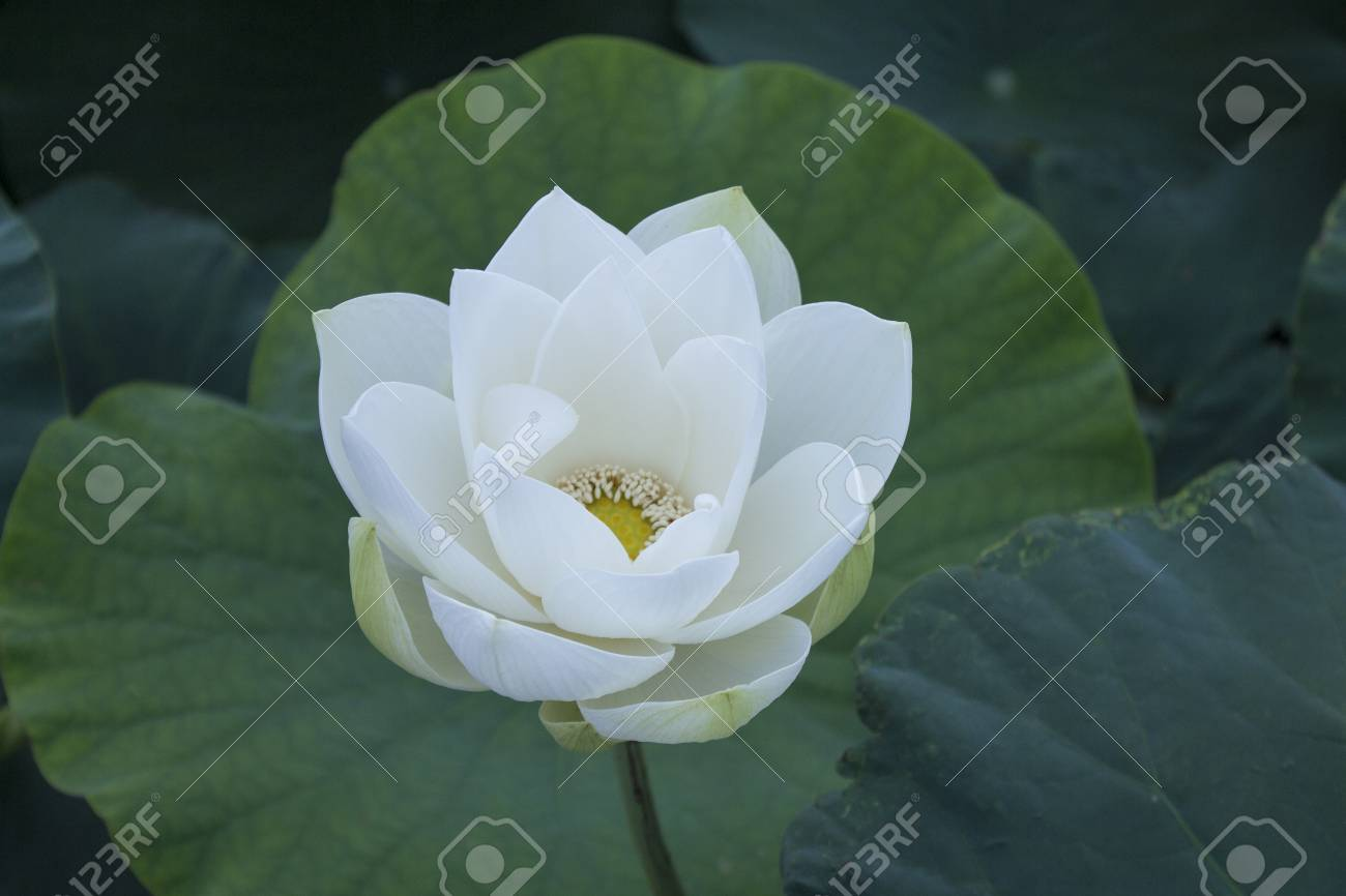 Beautiful lotus flower stock photo picture and royalty free image beautiful lotus flower stock photo 80944049 izmirmasajfo Images