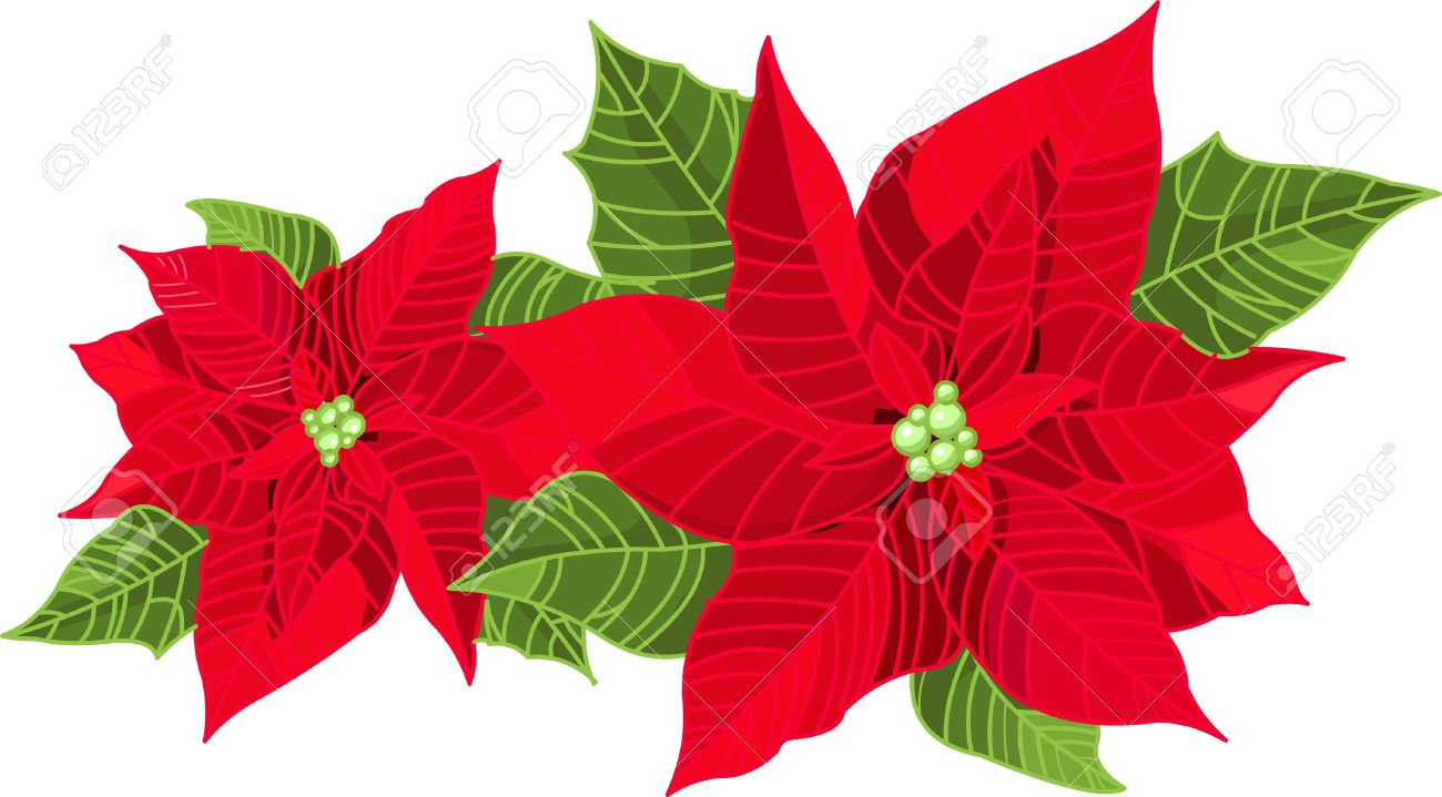 christmas decoration poinsettia flower euphorbia pulcherrima isolated on pure white stock vector - Christmas Poinsettia