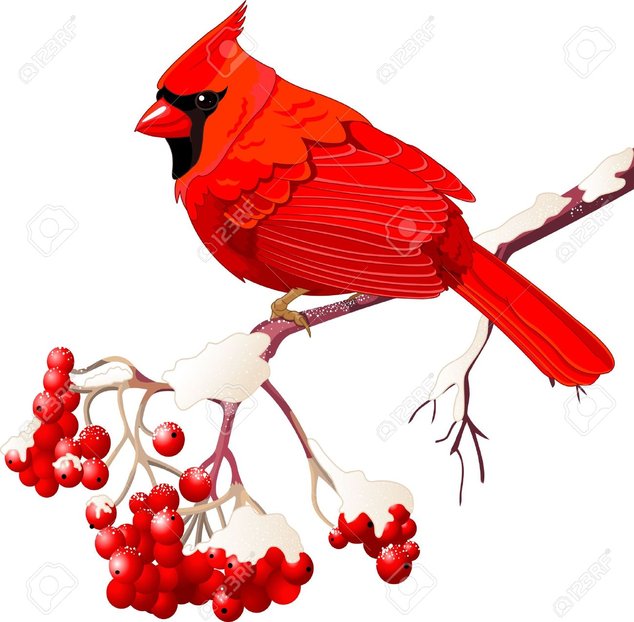 Red Cardinal bird sitting on mountain ash branch Stock Vector - 16607327