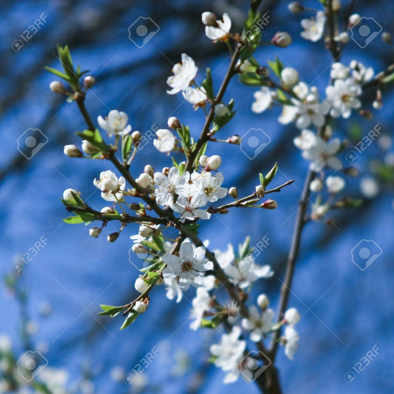 Fleur De Cerisier Blanc En Journ E Ensoleill E De Printemps Banque D