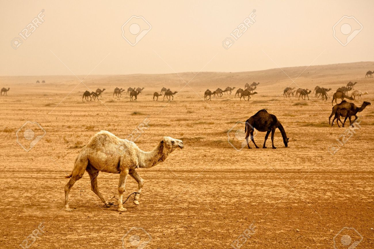 Bedouin herd of camels near Rasafa. Male camel in front. Sand storm rising panorama. - 6052450