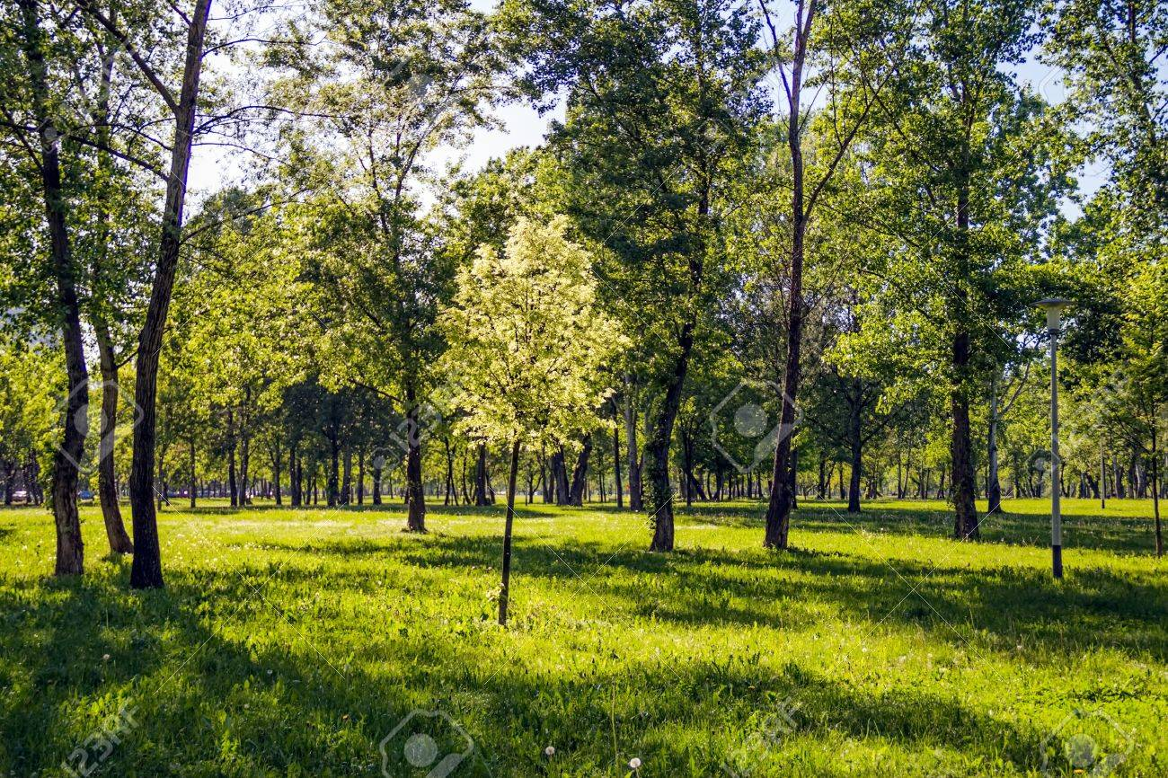 Sapling in the park, Zagreb capital of Croatia  Spring  or summer  snow in the air - from Populus tremula tree Stock Photo - 14111747