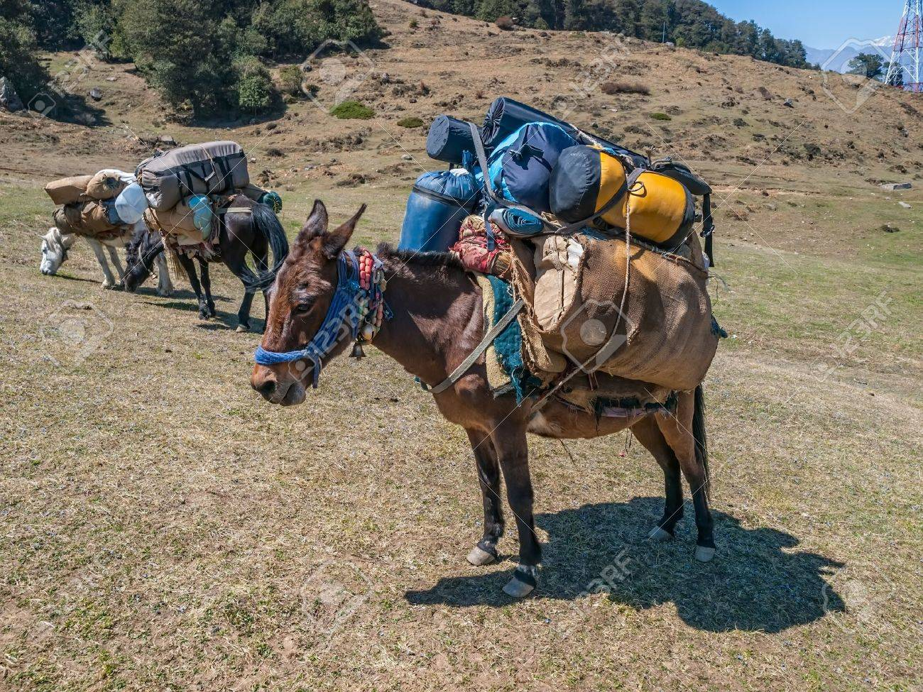 Laden mules in Himalaya somewhere in Uttarakhand, India. - 21124743