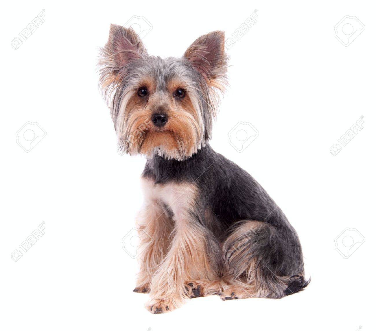 Small puppy yorkshire a terrier curious Stock Photo - 8891904