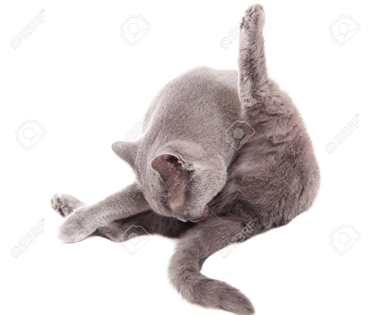 Grey thoroughbred cat on white background Stock Photo - 8889917