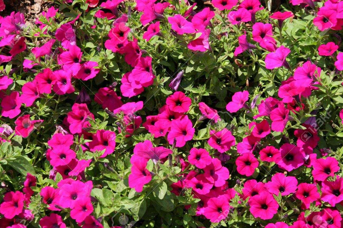Purple Flowers Used As A Landscaping Ground Cover Stock Photo  1194746