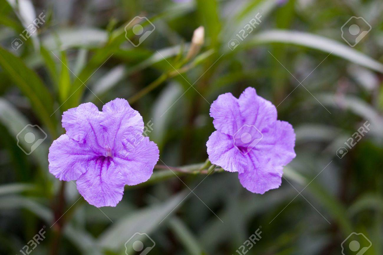 Two Purple Flowers In A Green Ground Cover Stock Photo  3474552