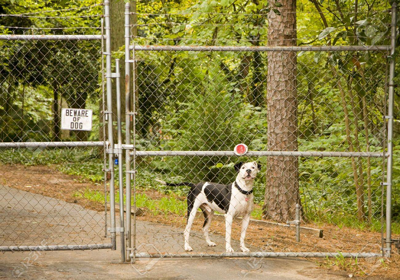 Beware of Dog sign on a fence and gate with a pit bull behind it Stock Photo - 3680410