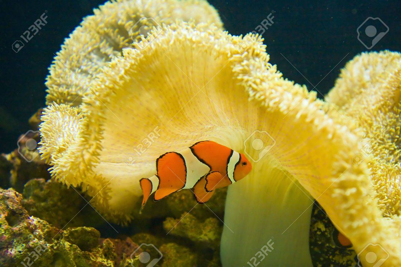 An orange and white clown fish by yellow coral Stock Photo - 3786243
