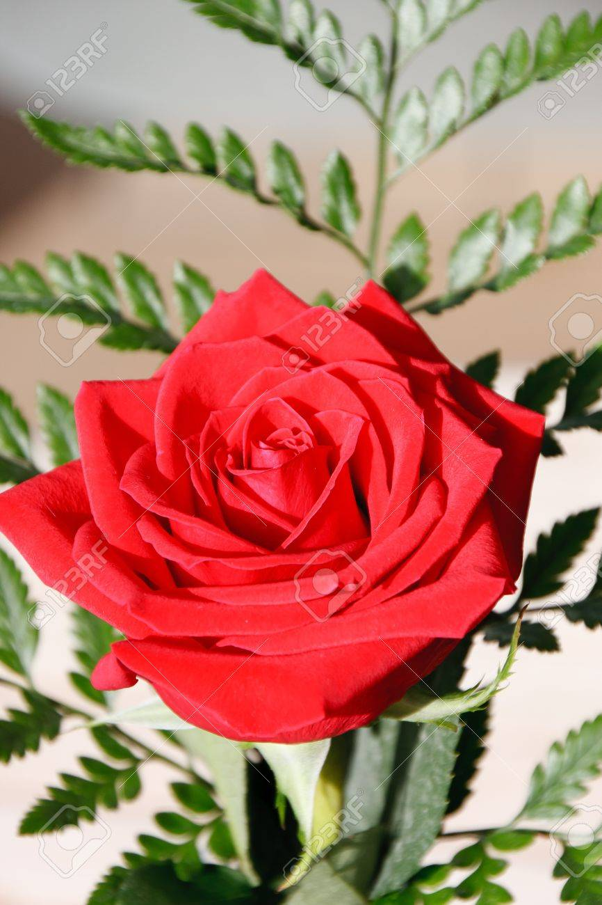 A single red rose with a green fern Stock Photo - 10179195