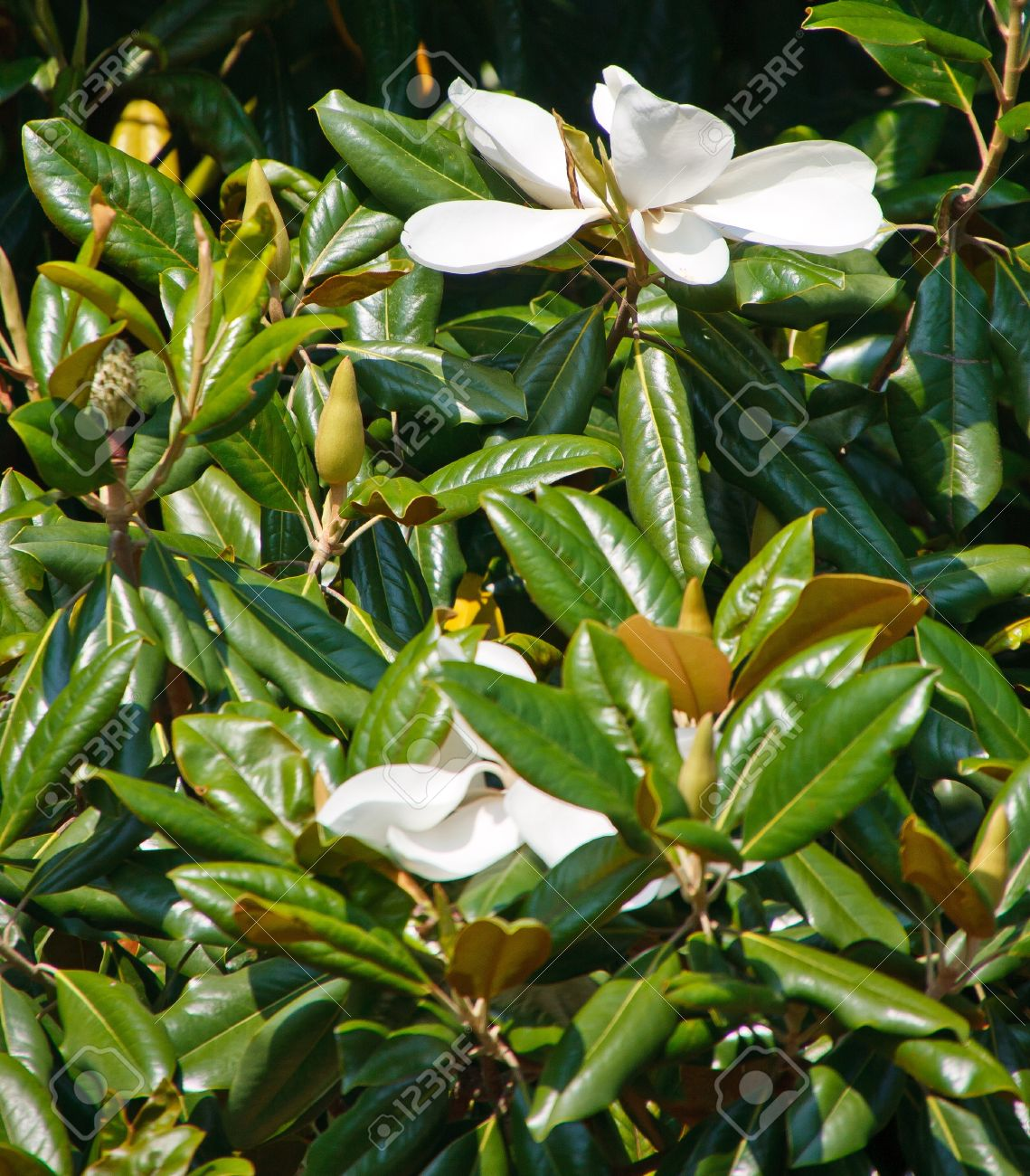 Two White Magnolia Blossoms On A Magnolia Tree In Sunshine Stock