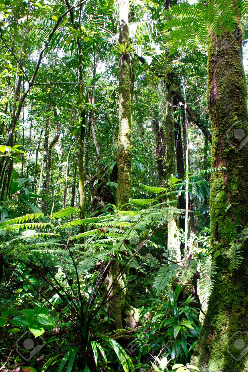 Lush Growth and Moss Covered Trees in a tropical rainforest Stock Photo - 10400928