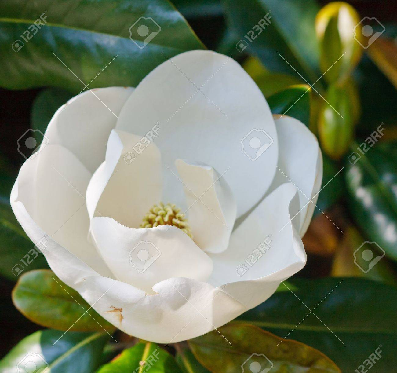 A white magnolia blossom just opening up in a tree Stock Photo - 10449863