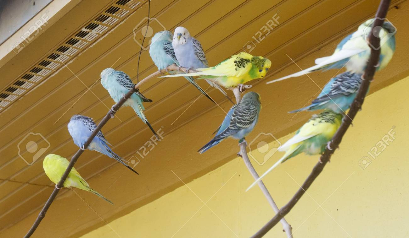 Blue and Yellow Parakeets on a limb Stock Photo - 12383078