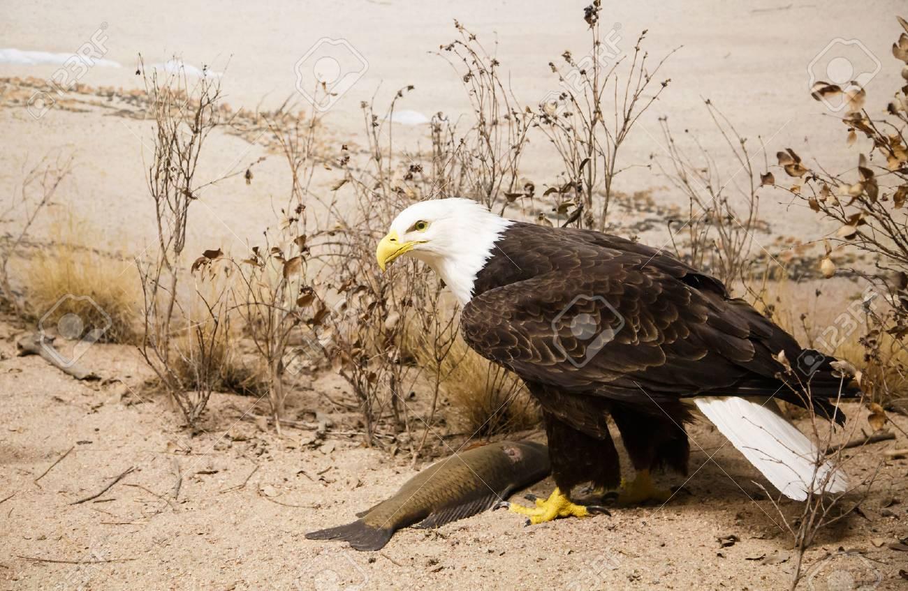 A bald eagle on the sand of a beach - 27784271