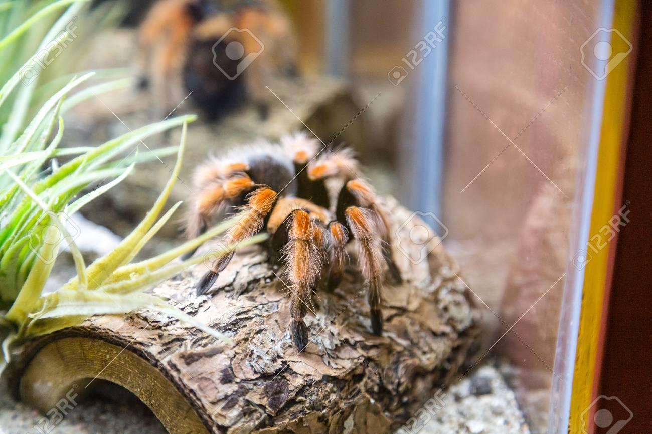 A venemous tarantula spider in a natural habitat