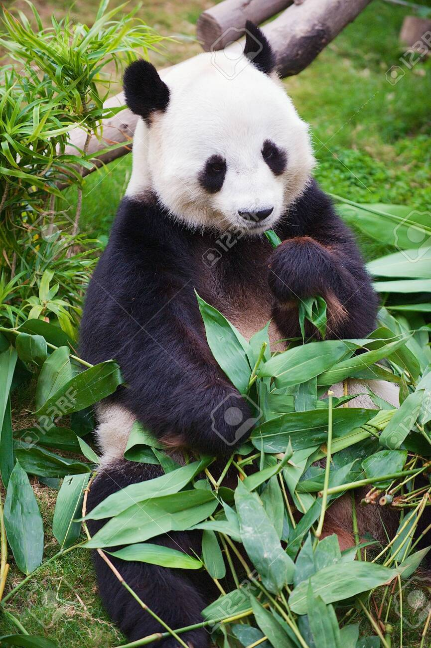 Giant panda bear eats bamboo leaves in a zoo in the Ocean park in Hong Kong, China. - 116337119