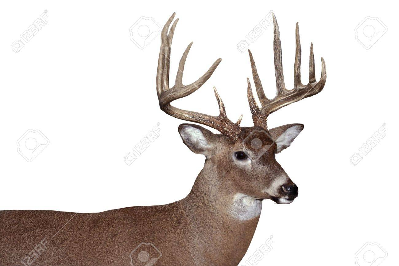 trophy whitetail buck isolated Stock Photo - 8024777