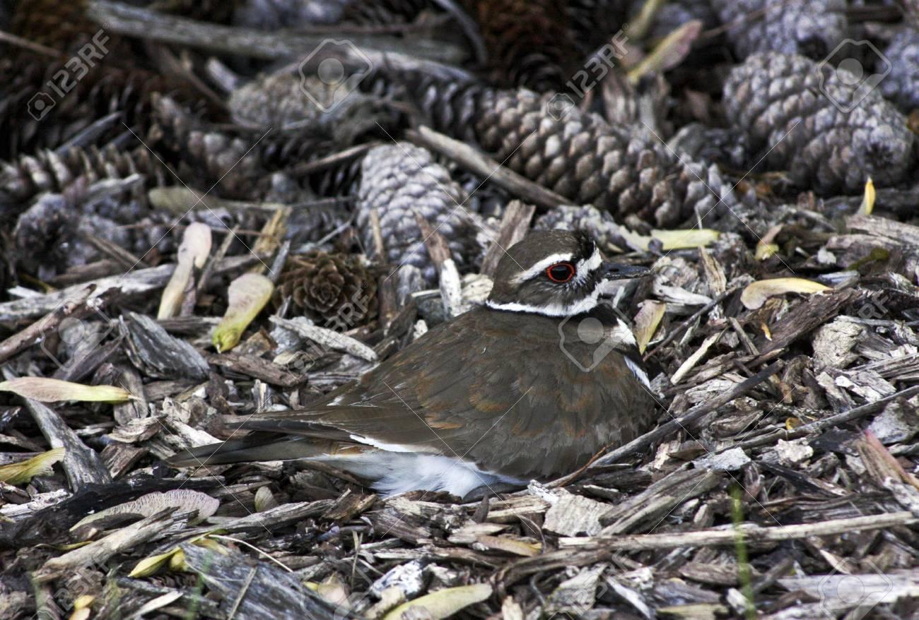 Killdeer Mother Sitting On A Nest Hidden In Bark Mulch And Pine
