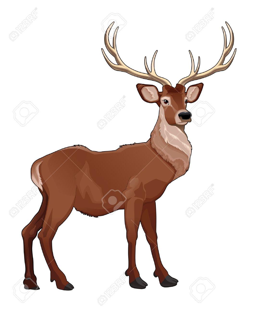 Elegant deer. Vector isolated animal. Stock Vector - 17542404