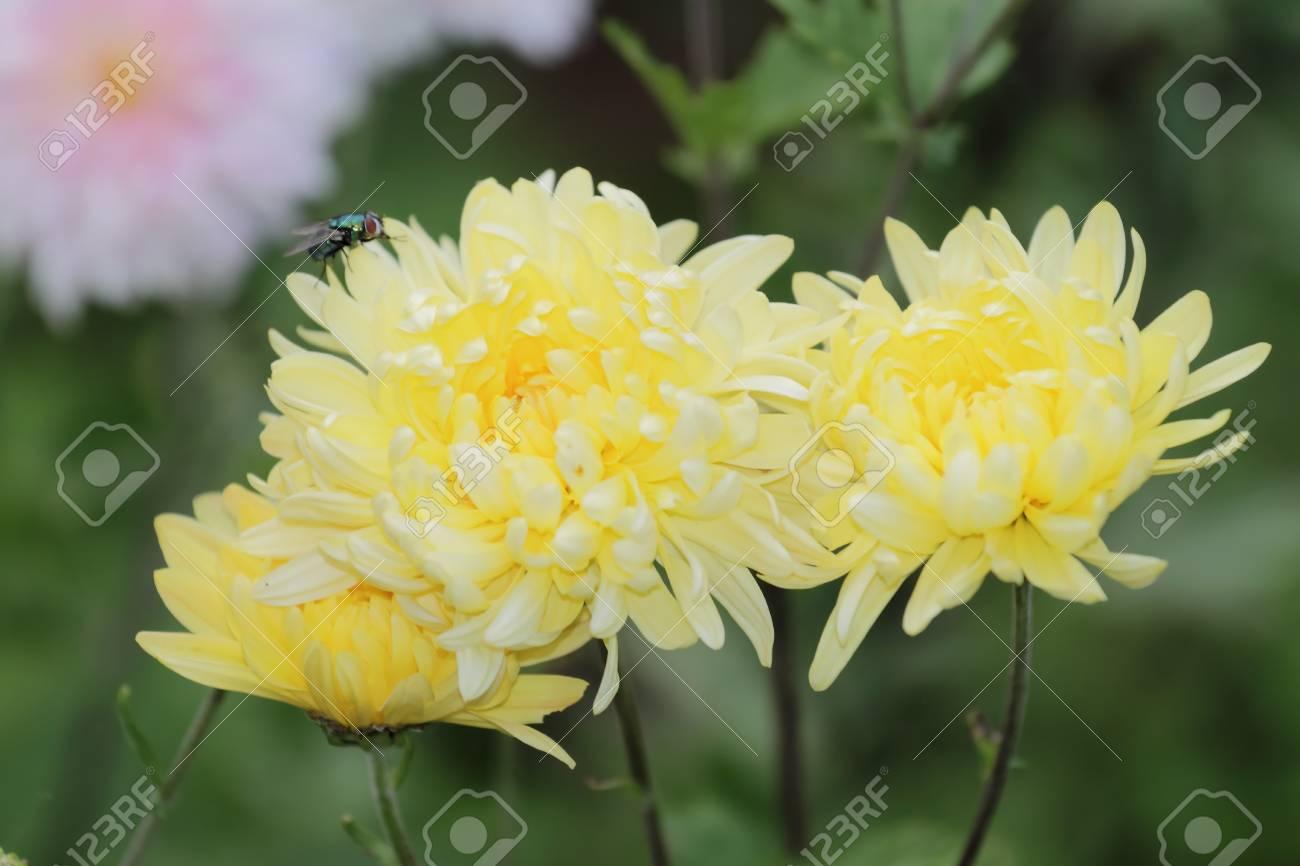 Yellow Mum With Fly Yellow Autumnal Chrysanthemum Flowers In