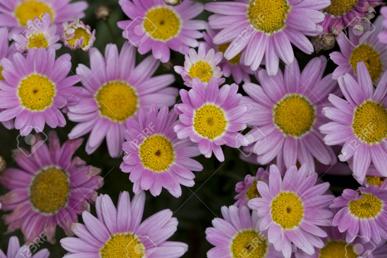 Top view of pink daisies flower in nature stock photo picture and stock photo top view of pink daisies flower in nature izmirmasajfo