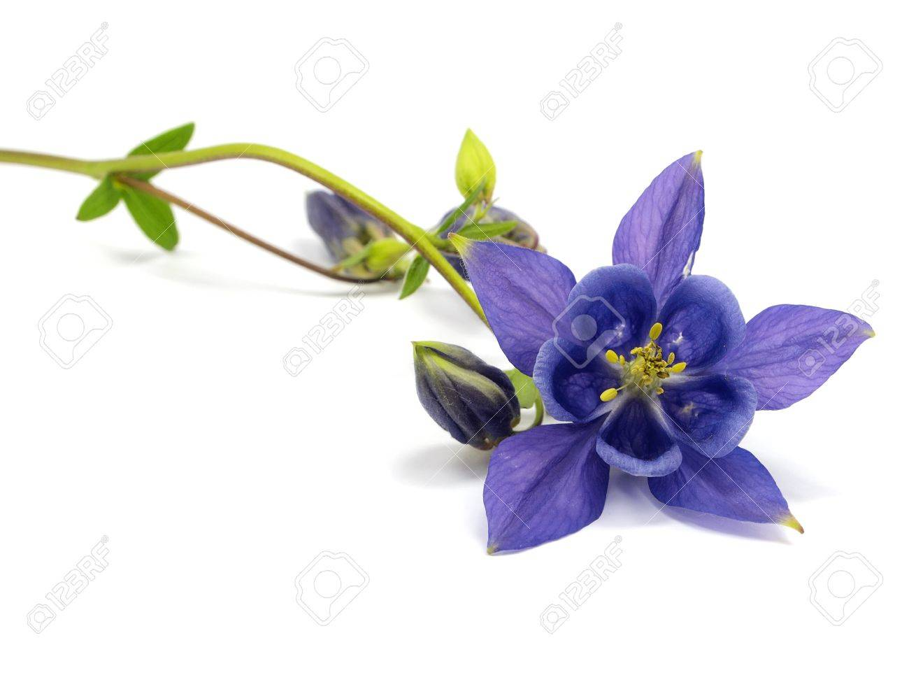 Purple columbine flower stock photos pictures royalty free purple columbine flower blue columbine aquilegia flowers on a white background dhlflorist Gallery