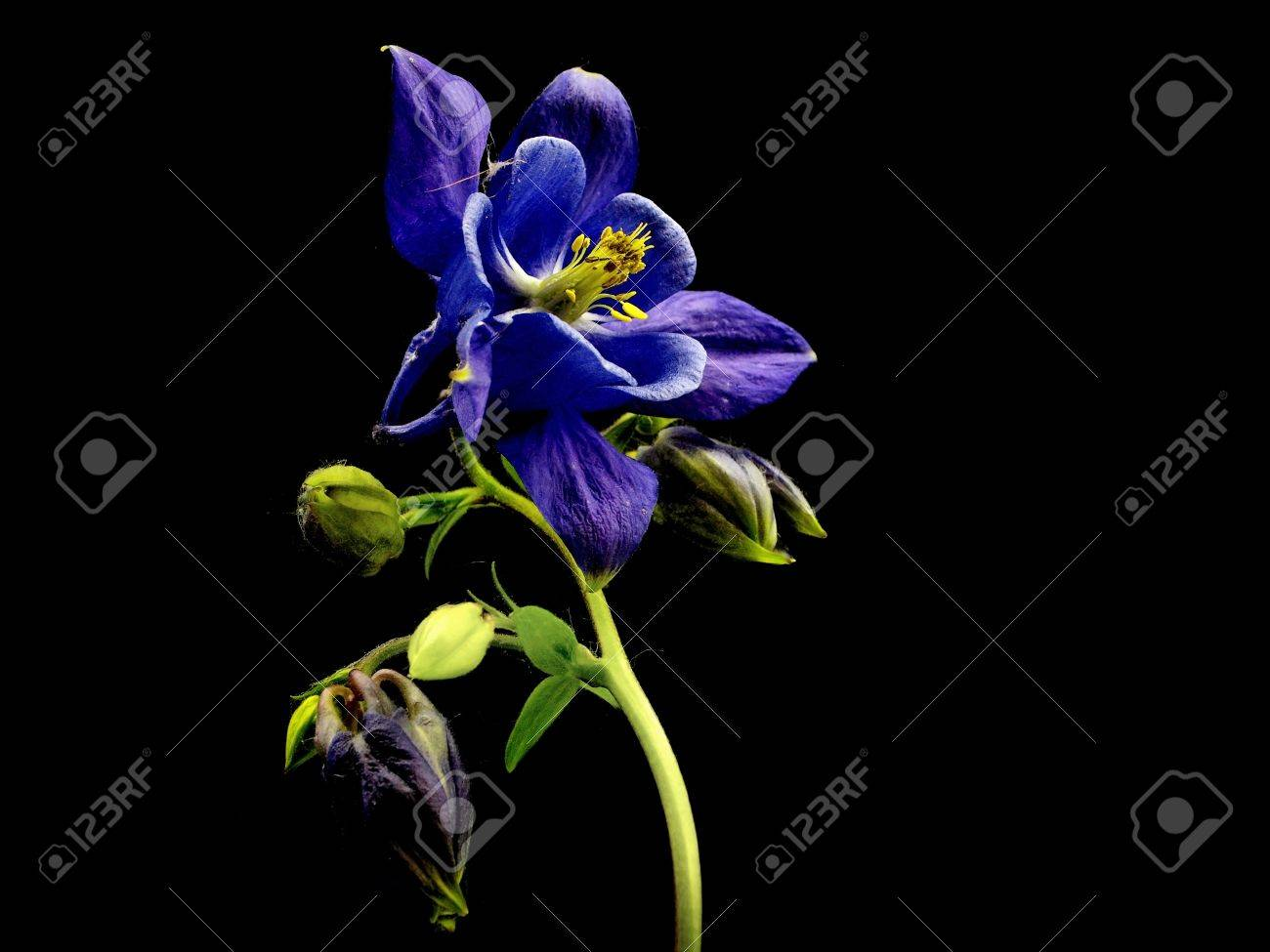 Blue columbine aquilegia flowers on a black background stock photo blue columbine aquilegia flowers on a black background stock photo 11006856 izmirmasajfo