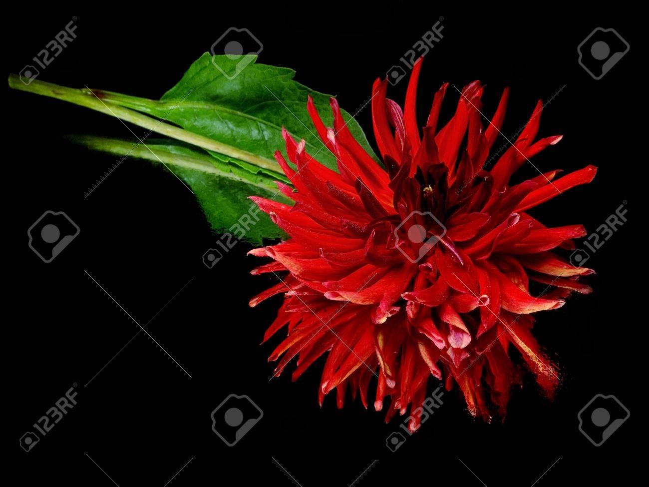 Dark red dahlia flower on a black background with water drops stock dark red dahlia flower on a black background with water drops stock photo 11114616 izmirmasajfo