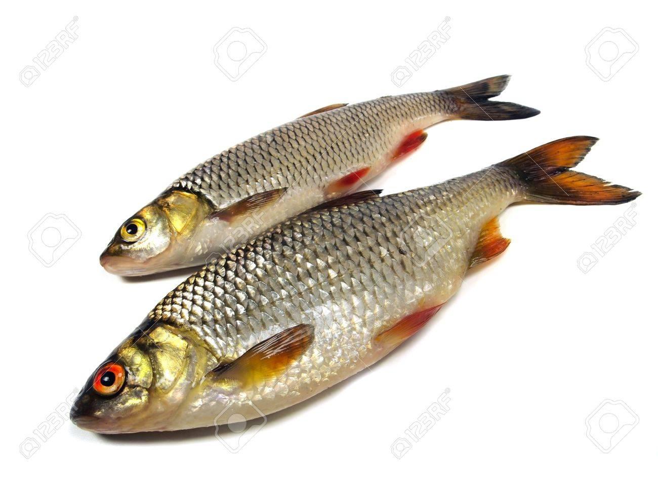 chub (leuciscus cephalus) and roach (Rutilus rutilus)  on a white background Stock Photo - 11171368