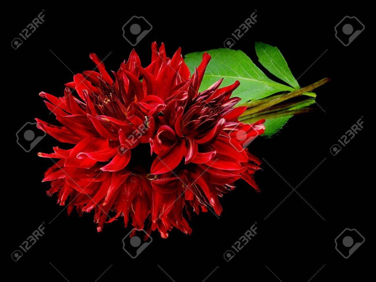 Dark red dahlia flower on a black background with water drops stock dark red dahlia flower on a black background with water drops stock photo 11255825 izmirmasajfo