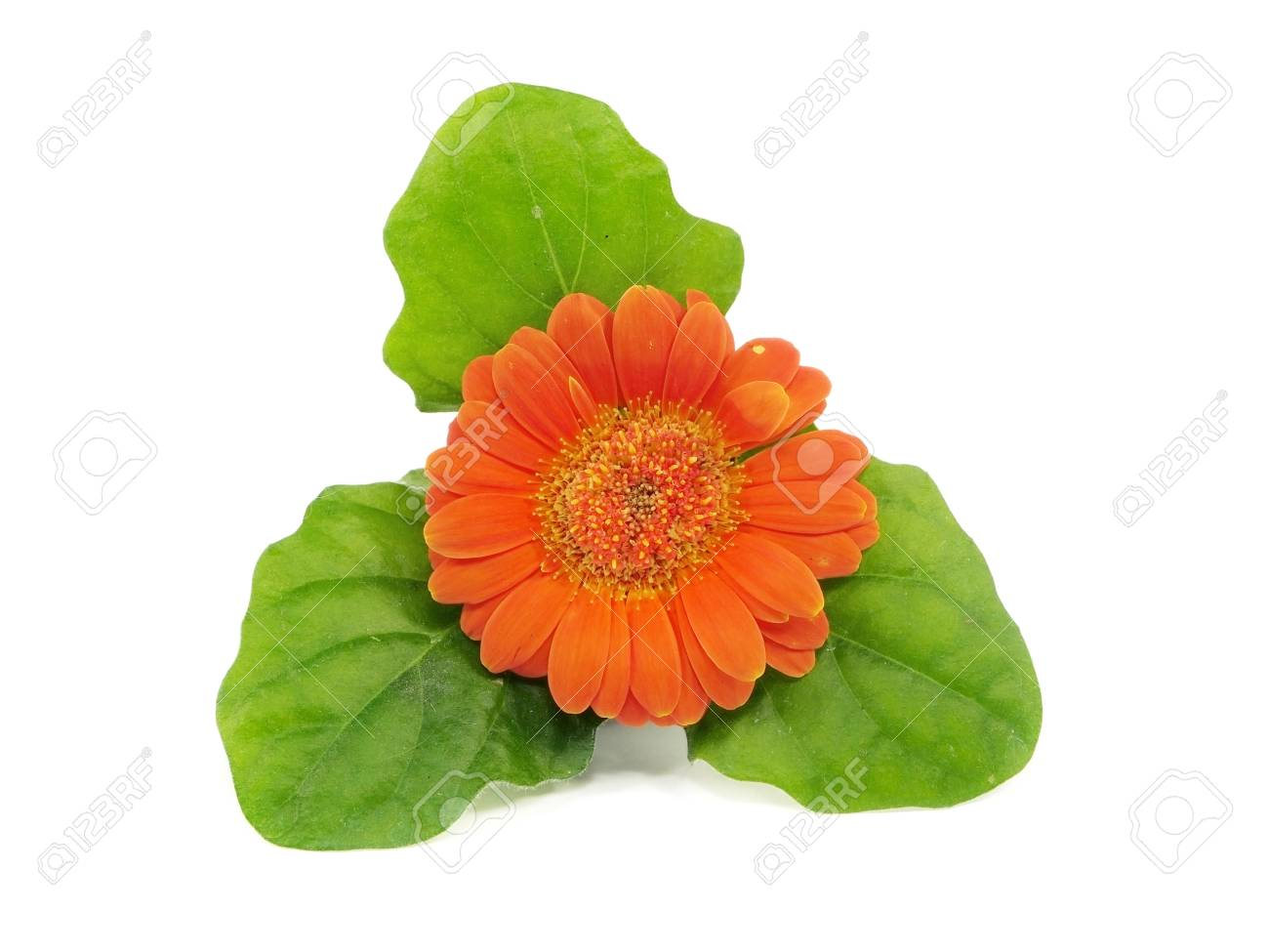 Orange gerbera flower on a white background stock photo picture and orange gerbera flower on a white background stock photo 13209240 mightylinksfo