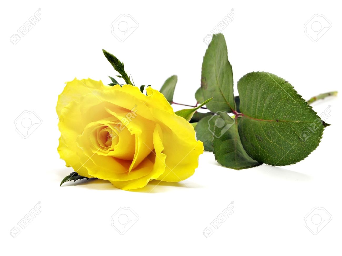 yellow rose stock photos. royalty free yellow rose images