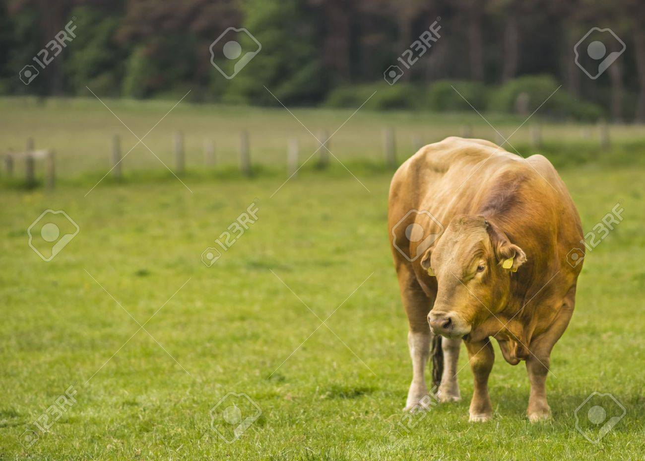 Limousin Bull - 21760874