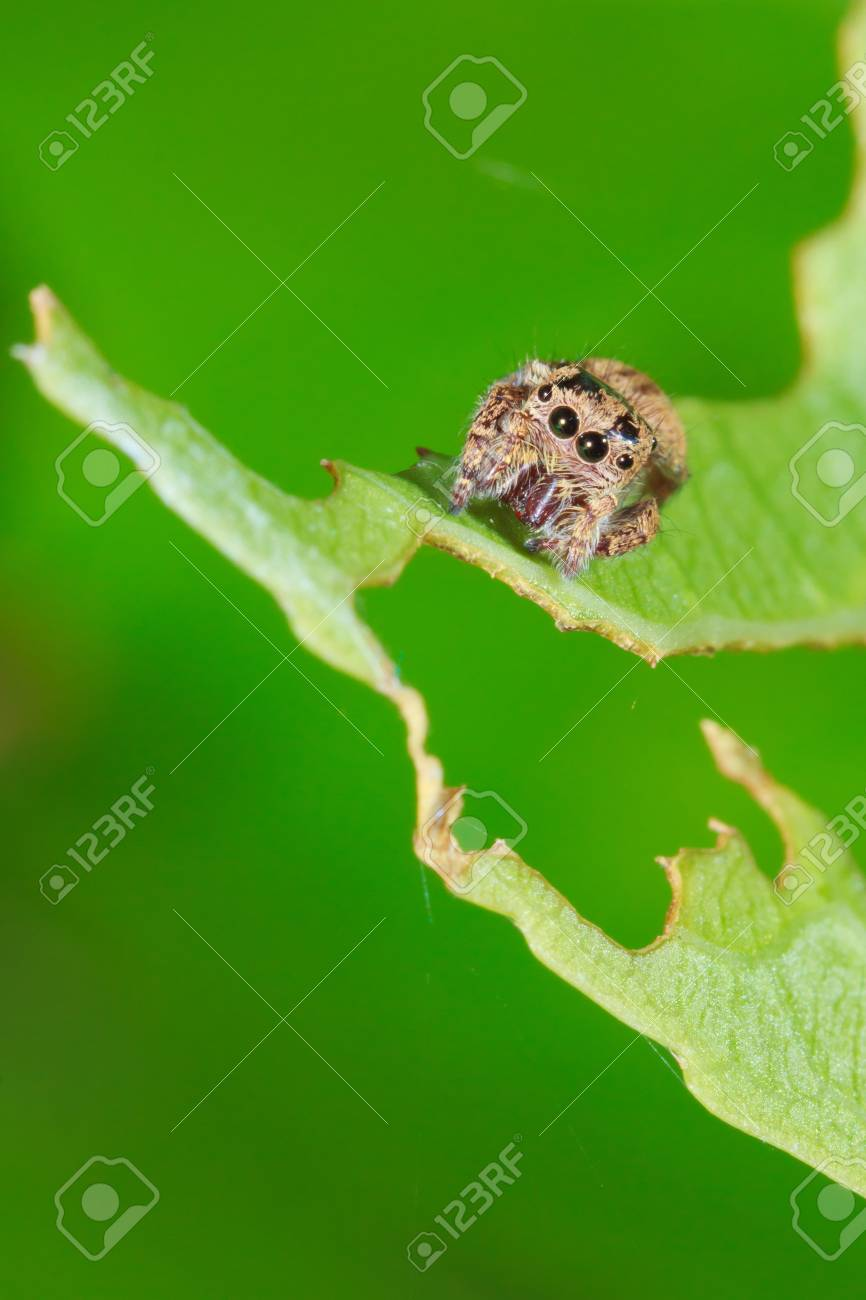 Jumping Spider on green leaf Stock Photo - 10820059