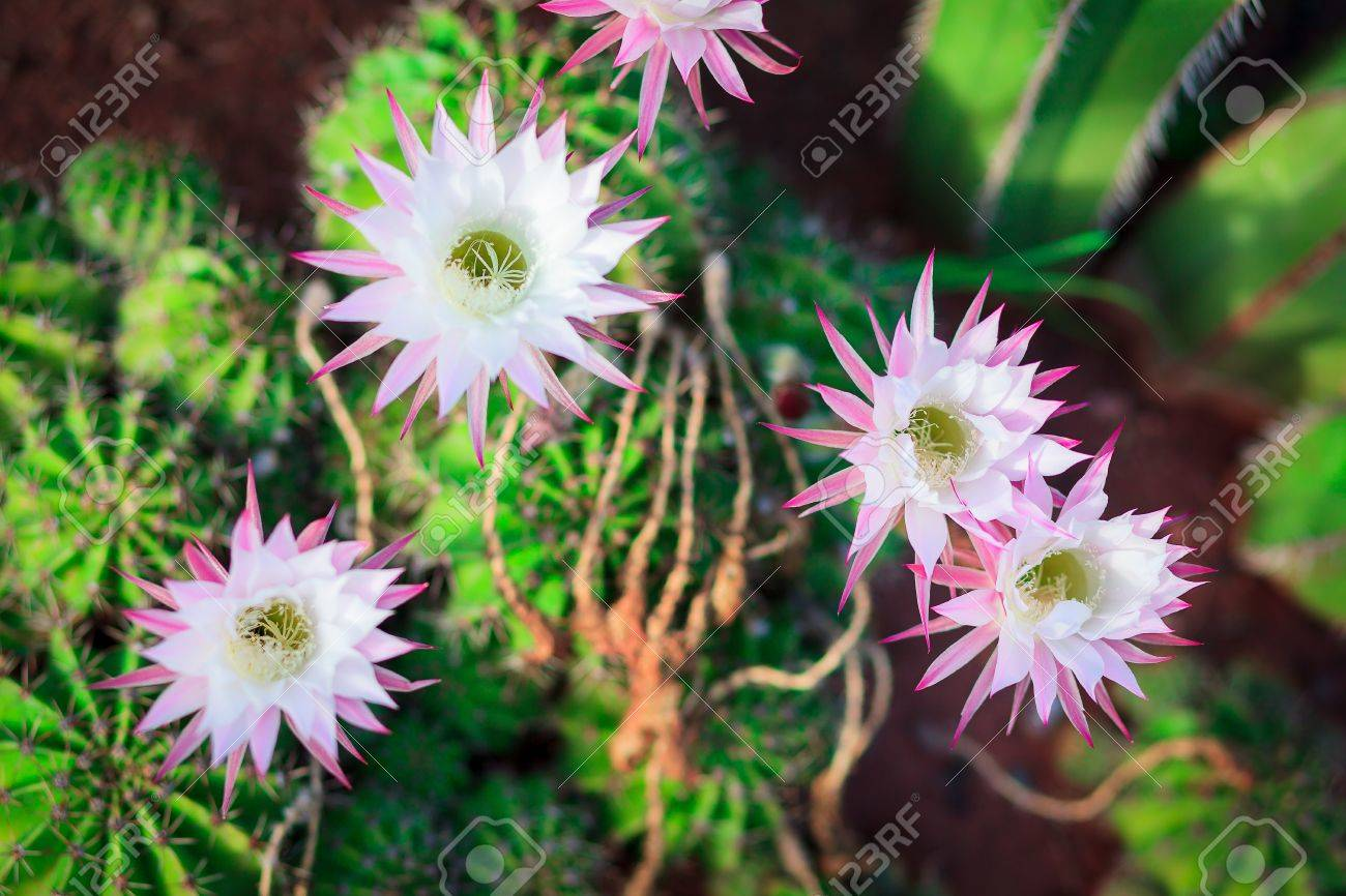A Bunch Of White Cactus Flowers Stock Photo Picture And Royalty